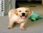 宠物公母都有拉拉宠物狗狗 金品拉布拉多犬魅力十足