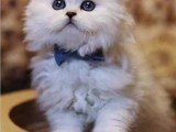 上海广州深圳北京折耳猫管方网站 搜:双飞猫
