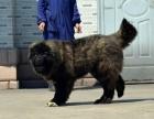 犬场出售高加索幼犬,针疫苗打好 ,欢迎来挑选