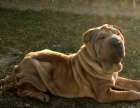 自家大狗生的一窝沙皮犬可以来家里看大狗品相