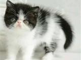 北京西城純種雙血統加菲貓怎么買