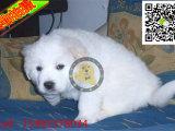 大白熊幼犬,大白熊多少钱一只