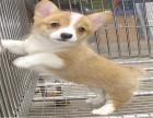 柯基犬繁殖基地 保障品质 可全国办理托运