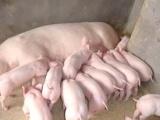供应太湖母猪、太湖仔猪、二元仔猪、苗猪、