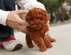 纯种泰迪幼犬出售中,欢迎上门看狗狗