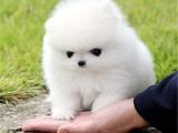 上海 純種博美幼犬 疫苗齊全出售中 可簽協議健康保障