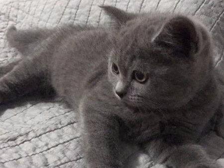 北京常年出售宠物猫蓝猫多少钱保健康送货上门