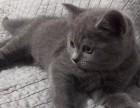 常年出售北京宠物猫蓝猫多少钱保健康送货上门