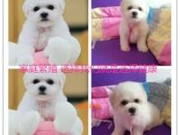 天津宠物狗活体博美比熊泰迪阿拉斯加金毛幼犬活体狗狗纯种幼犬