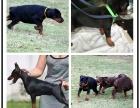 本地犬舍繁殖精品杜宾犬犬 健康质保 放心挑选