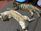 孟加拉豹猫雪豹金豹