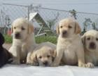 纯种健康拉布拉多幼犬出售 可见幼犬父母 签署保证协议