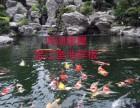 成都日本锦鲤,成都哪里有锦鲤卖,成都鱼池过滤