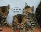 超大斑纹孟加拉豹猫满月了 定金5000