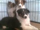 沈阳本地犬舍出售纯种幼犬 苏哥牧羊犬 血统纯正,保证健康