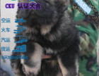 CKU认证犬舍 高加索犬 保障健康 终生售后