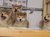 汕头南澳出售宠物狗,秋田幼犬狗狗出售,包纯种,包健康
