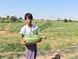 缅甸进口反季节甜王西瓜批发可混批或零售 畹町长合西瓜市场