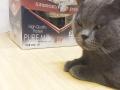 英短蓝猫借配身体健康