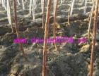 蔷薇大桩 树状月季嫁接砧木红刺藤,山木香桩3-10公分