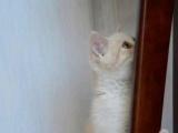 CFA带绿纸繁育权乳白正八字英短mm甜美的橘猫