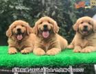 广州金毛犬 价格合理 实物拍摄 售后三包