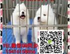 中山萨摩耶犬多少钱一只中山新光狗场出售纯种萨摩耶犬可送货