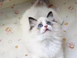福建泉州纯种布偶幼猫特价转让
