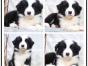 本地犬舍繁殖精品边境牧羊犬犬 健康质保 放心挑选