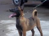 纯种马犬幼犬出售中一对一视频拍摄让您挑选更方便