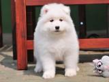 上海哪里有萨摩耶出售 萨摩耶幼犬繁殖 萨摩耶微笑天使双血统