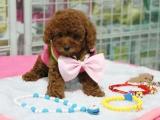 小区里可以养泰迪犬吗 家里有小孩能不能养