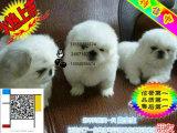 杭州有卖京巴的犬舍吗 京巴一般多少钱一只