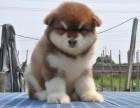 够大 够霸气 巨型熊版阿拉斯加犬 在乎品质找我