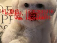 成都哪里有比熊犬卖 成都的比熊好多钱一只 纯种比熊多少钱
