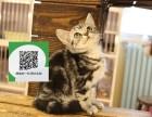 沈阳哪里有虎斑猫出售 沈阳虎斑猫价格 沈阳宠物猫转让出售