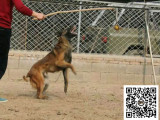 马犬纯正健康出售-幼犬出售,当地可以上门挑选