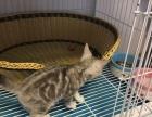 自家养 美短猫 美国短毛猫 银虎斑 3个月 公