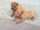 出售自家繁育的纯种健康沙皮幼犬,包健康纯种养活!