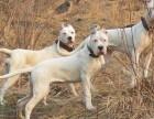 湖州市德国牧羊犬犬舍