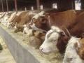 山西杂交牛崽价格