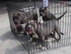 比特猛犬 比特多大 比特多少钱 精品比特犬舍