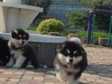 贵阳出售 纯种阿拉斯加幼犬,包犬温细小,签订纯种健康