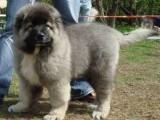 高品质高加索幼犬待售喜欢大型犬的朋友可以联系我