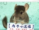 南平出售仓鼠兔子龙猫荷兰猪松鼠刺猬等奇趣小宠
