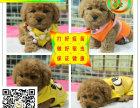 韩系小体泰迪犬 长期繁殖出售 随时可上门来看现