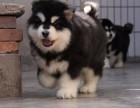 玉溪纯种阿拉斯加犬价格,玉溪哪里能买到纯种阿拉斯加犬
