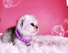 家养美短英短渐层等名品猫猫