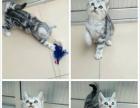 批发零售英短蓝猫渐层加菲孟买豹猫美短等