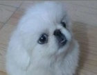 雪白的京巴幼犬是自己养大小狗狗很聪明 来瞧瞧吧
